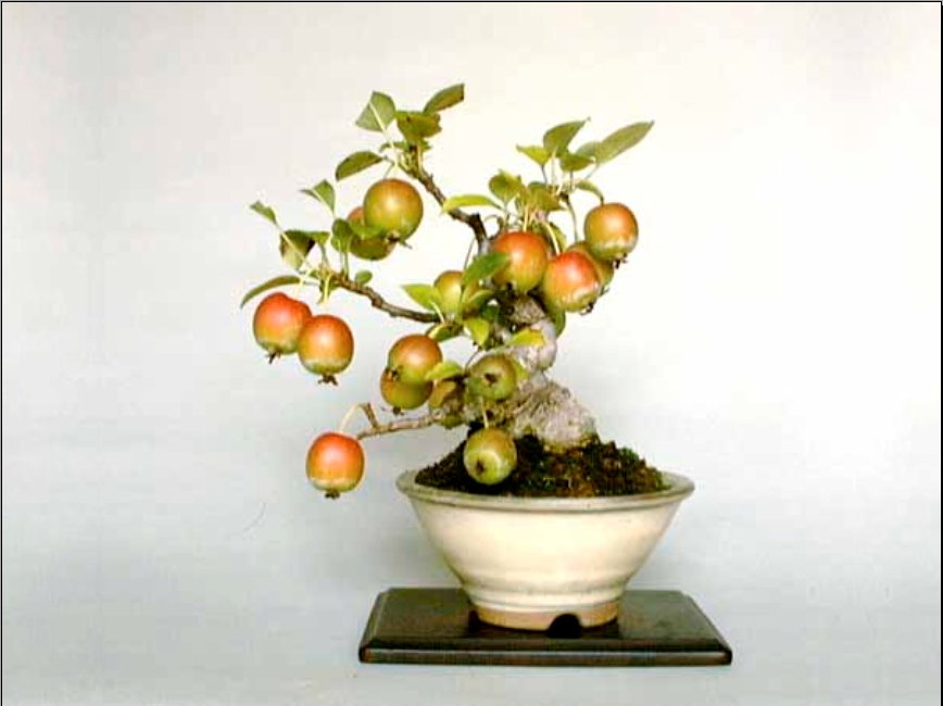 Выращивание миниатюрных деревьев из семян 84
